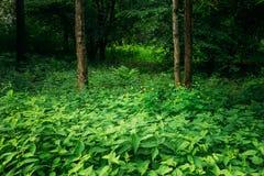 Деревья лиственного леса лета зеленые с крапивами стоковое фото