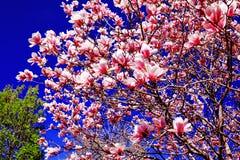 Деревья магнолии весной стоковая фотография rf