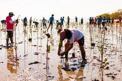 Деревья мангровы добровольного завода молодые на болотах близрасположенном Saphan Стоковые Изображения