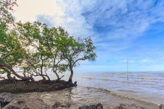 Деревья мангровы стоковые изображения rf