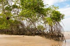 Деревья мангровы Стоковые Изображения