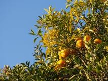 Деревья мандарина плодоовощ зрелые померанцовые Стоковое Фото
