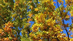 Деревья осени желтые с листьями на ветвях в парка против голубого неба сток-видео