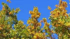 Деревья осени желтые с листьями на ветвях в парка против голубого неба акции видеоматериалы