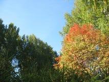 Деревья осени и голубое небо Стоковые Изображения