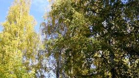 Деревья осени против неба и многоэтажных зданий видеоматериал