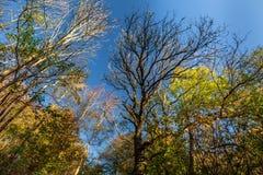 Деревья осени с голубым небом in-between стоковые фотографии rf