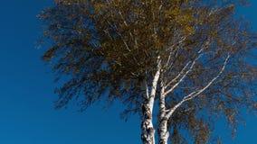 Деревья осени с желтеть выходят против неба акции видеоматериалы