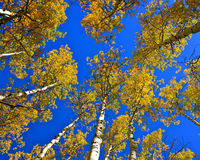 Деревья осины низкого угла Стоковые Изображения RF