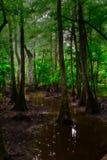 Деревья отражая в национальном парке Congaree стоковые фотографии rf