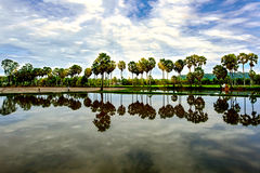 Деревья пальмиры Стоковое Изображение