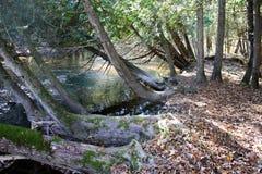 Деревья полагаясь над спеша рекой стоковое фото