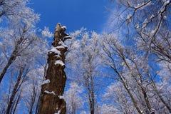 Деревья предусматриванные в снеге с ярким голубым небом стоковые фото
