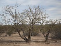 Деревья пустыни & кусты креозота юго-западной Аризоны Стоковая Фотография
