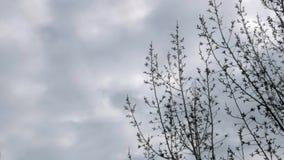 Деревья разветвляют на фоне дождевых облаков Облака и overcast, скоро дождь Весна приходила Деревья имеют бутоны акции видеоматериалы