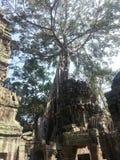 Деревья растя из руин на животиках Prohm Стоковые Изображения
