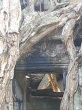 Деревья растя из руин на TaProhm Стоковые Фотографии RF
