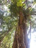 Деревья растя на животиках Prohm Стоковая Фотография