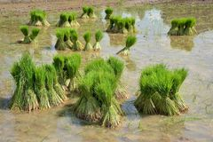 Деревья риса пачки Стоковое Фото