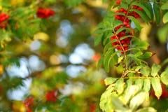 Деревья рябины в лесе Стоковая Фотография