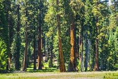 Деревья секвойи в лесе Стоковые Фото