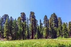 Деревья секвойи в лесе Стоковые Изображения RF