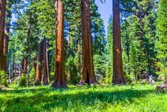 Деревья секвойи в национальном парке Sequois в Калифорнии Стоковые Фотографии RF