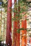 Деревья секвойи Стоковые Фотографии RF