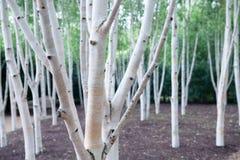 Деревья серебряной березы Белое полесье пуща волшебная Стоковое фото RF