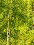 Деревья серебряной березы в зеленом лесе лета Стоковое Изображение RF