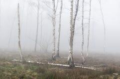 Деревья серебряной березы в тумане Стоковые Фотографии RF