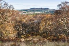 Деревья серебряной березы Стоковая Фотография RF
