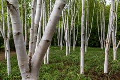 Деревья серебряной березы Стоковые Изображения