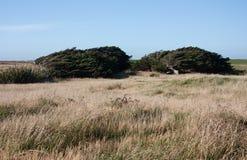 Деревья согнутые от сильных ветеров в Catlins в южном острове в Новой Зеландии стоковая фотография