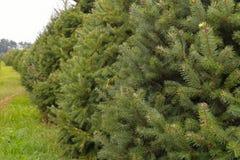 Деревья сосенки на ферме дерева Стоковая Фотография