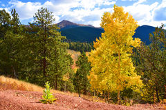 Деревья сосны и осины на горе Стоковая Фотография