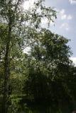 Деревья солнечности стоковые изображения rf