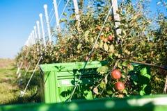Деревья с зрелыми красными яблоками Стоковые Изображения RF