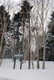 Деревья с снегом в Хоккаидо, Японии Стоковые Изображения