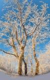 Деревья танца зимы снежные Стоковое Фото