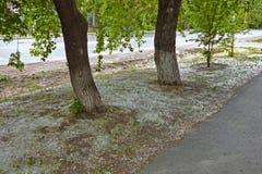 Деревья тополя с много пушком Стоковые Фото
