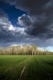Деревья тополя Стоковое Изображение