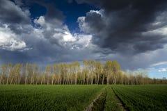 Деревья тополя Стоковые Фото