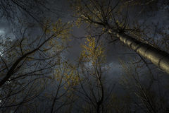 Деревья тополя Стоковое Изображение RF