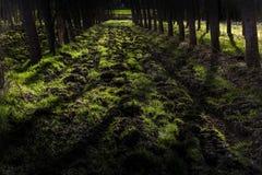 Деревья тополя Стоковое Фото