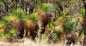 Деревья травы также известные как черные мальчики в Austra стоковое изображение rf
