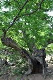 Деревья тысячелетия Соединенных Штатов Стоковое фото RF