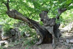 Деревья тысячелетия Соединенных Штатов Стоковое Изображение