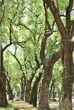Деревья улицы Стоковые Фото