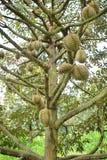 Деревья дуриана Стоковая Фотография RF